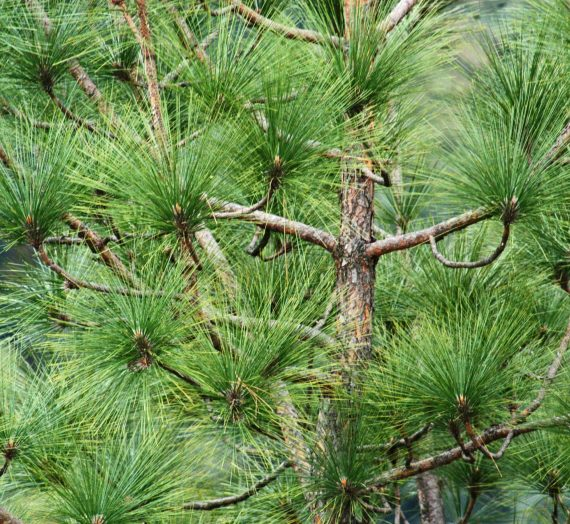 pine trees hold world records